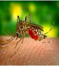 Yellow Fever Virus
