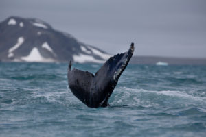 Whale Watching in Iceland